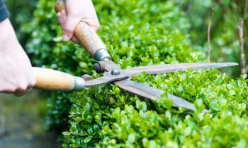 Обрезка декоративно-лиственных кустарников